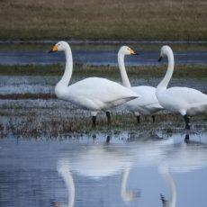 Naturschutzstiftung fördert Zwergschwanprojekt